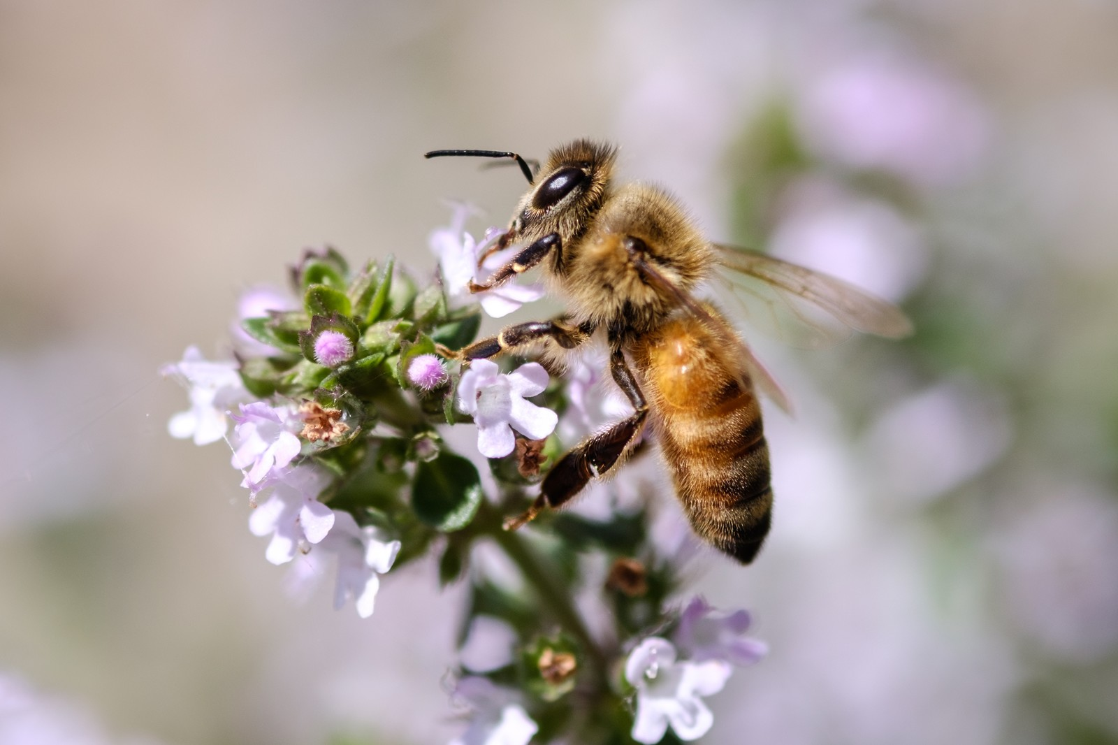 セイヨウミツバチ